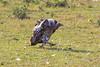 Vulture, Seregenti National Park