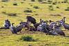 Vulture tearing off flesh