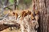 Mongooses (mongeese?)
