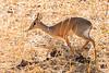 Dik dik, Tarangire National Park