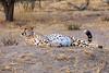 Cheetah, Tarangire National Park