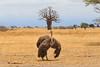 Ostrich with Baobab, Tarangire National Park