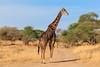 Giraffe, Tarangire National Park