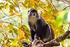 Black monkey, Zanzibar