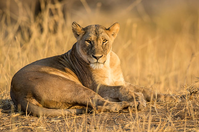 Tanzania 2017 Lions