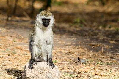 Tanzania 2017 Monkeys