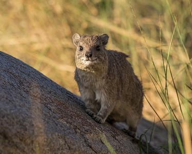 Tanzania 2017 Rock Hyrax