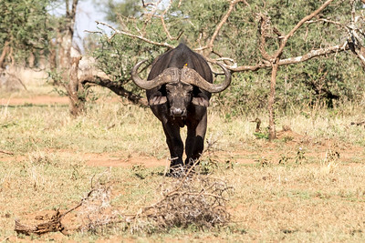 Tanzania 2017 Water Buffalo