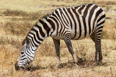 Tanzania 2017 Zebra