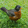 American Robin in Pigeon Forge, TN.