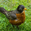 American Robin along the Little Pigeon River in Pigeon Forge, Tenn. Shot on 050713  with my Sony SLT-A77V body and my Sony SAL70400GSSM lens.