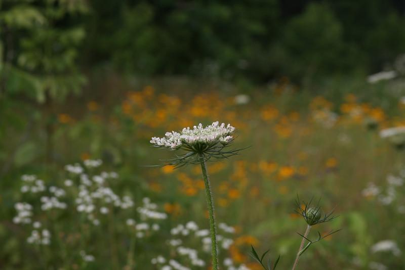 Queen Anne's Lace in a field.