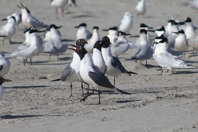 March 12, 2011 (Port Aransas Jetty / Nueces County, Texas) - a quartet of Laughing Gulls backed up by numerous Sandwich Terns