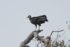 March 13, 2011 (Goose Island State Park / Rockport, Aransas County, Texas) - Black Vulture