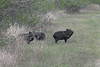 March 13, 2011 (King Ranch / Kingsville, Kleberg County, Texas) - Collared Peccary (Javelina)