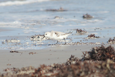 March 12, 2011 (Port Aransas Jetty / Nueces County, Texas) - Sanderling