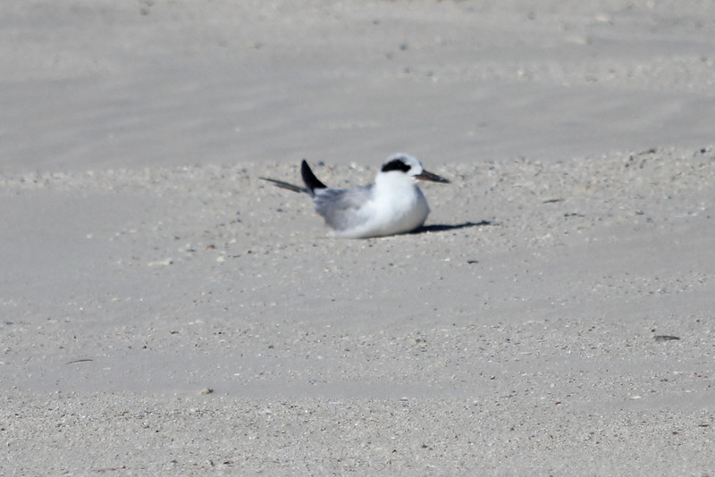March 12, 2011 (Port Aransas Jetty / Nueces County, Texas) - Forster's Tern
