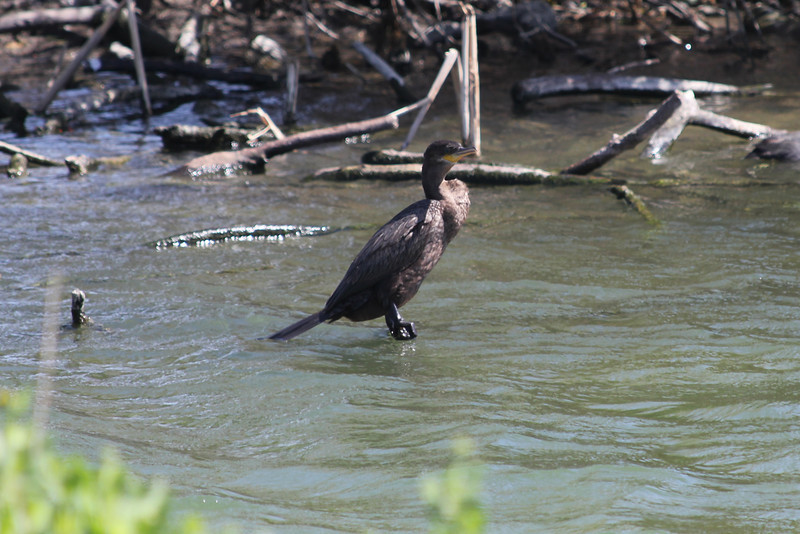 March 12, 2011 (Hans A. Suter Wildlife Management Area [boardwalk] / Corpus Cristi, Nueces County, Texas) - Neotropic Cormorant