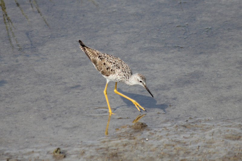 March 14, 2011 (South Padre Island, Birding & Nature Center / Cameron County, Texas) - Lesser Yellowlegs