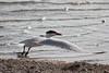 March 13, 2011 (Aransas National Wildlife Refuge / Calhoun County, Texas) - Caspian Tern