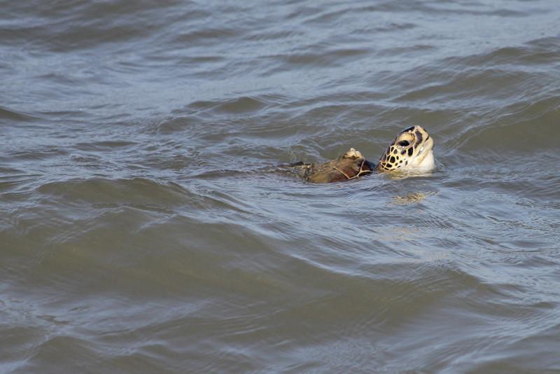 March 12, 2011 (Port Aransas Jetty / Nueces County, Texas) - Green Sea Turtle