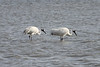 March 13, 2011 (Aransas National Wildlife Refuge / Nueces County, Texas) - Whooping Cranes
