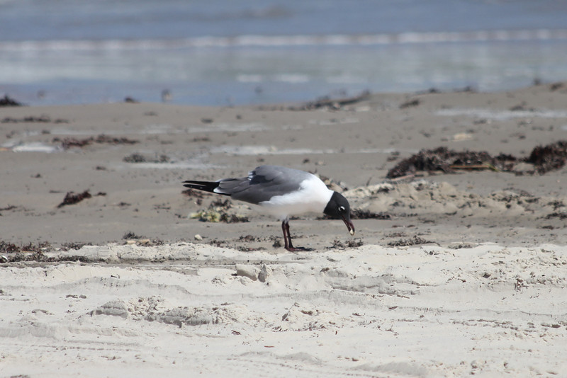 March 12, 2011 (Port Aransas Beach / Nueces County, Texas) - Laughing Gull