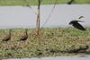 March 13, 2011 (King Ranch / Kingsville, Kleberg County, Texas) - Black-bellied Whistling Ducks
