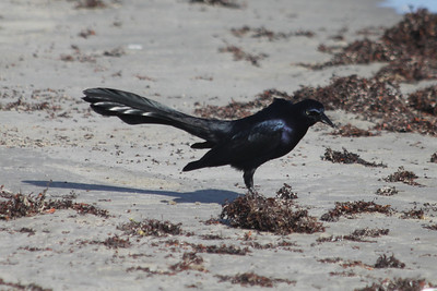 March 12, 2011 (Port Aransas Jetty / Nueces County, Texas) - Great-tailed Grackle
