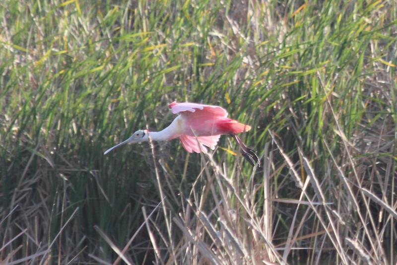March 12, 2011 (Leonabelle Turnbull Birding Center / Port Aransas, Nueces County, Texas) - Roseate Spoonbill