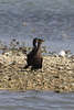 March 13, 2011 (Aransas National Wildlife Refuge / Calhoun County, Texas) - Neotropic Cormorants