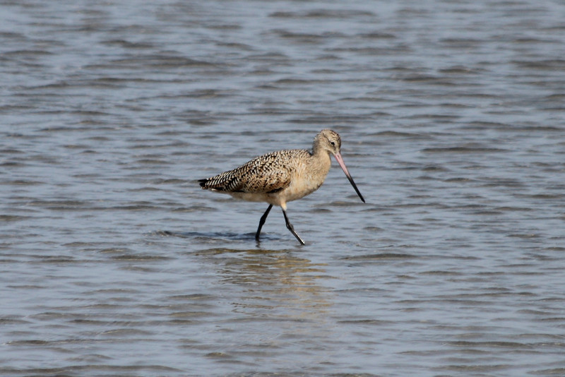 March 14, 2011 (South Padre Island, Birding & Nature Center / Cameron County, Texas) - Marbled Godwit