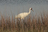 March 13, 2011 (Aransas National Wildlife Refuge / Calhoun County, Texas) - Whooping Crane