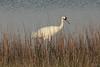 March 13, 2011 (Aransas National Wildlife Refuge / Calhoun County, Texas) - Whooping Crane