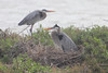 March 13, 2011 (Aransas National Wildlife Refuge / Calhoun County, Texas) - Great Blue Herons