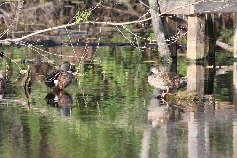 March 12, 2011 (Joan & Scott Holt Paradise Pond / Port Aransas, Nueces County, Texas) - Blue-winged Teal