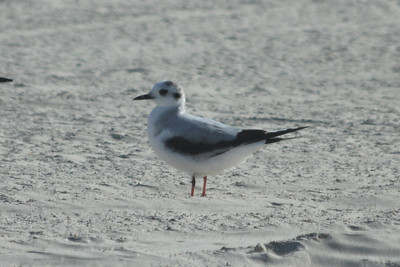 March 12, 2011 (Port Aransas Jetty / Nueces County, Texas) - 1st cycle Little Gull