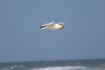 March 12, 2011 (Port Aransas Beach / Nueces County, Texas) - Ring-billed Gull