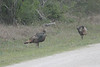 March 13, 2011 (King Ranch / Kingsville, Kleberg County, Texas) - Wild Turkeys