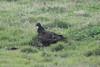 March 13, 2011 (King Ranch / Kingsville, Kleberg County, Texas) - Turkey Vulture