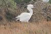 "March 13, 2011 (Aransas National Wildlife Refuge / Calhoun County, Texas) - ""White Morph"" Reddish Egret"