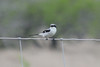 March 13, 2011 (King Ranch / Kingsville, Kleberg County, Texas) - Loggerhead Shrike