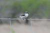 March 13, 2011 (King Ranch / Kingsville, Kleberg County, Texas) - Loggerhead Shrike