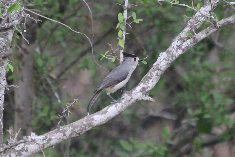 March 13, 2011 (King Ranch / Kingsville, Kleberg County, Texas) - Black-crested Titmouse