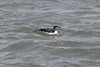 March 13, 2011 (Aransas National Wildlife Refuge / Calhoun County, Texas) - Common Loon
