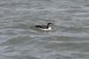 March 13, 2011 (Aransas National Wildlife Refuge / Calhoun County, Texas) - Common Loon