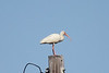 March 12, 2011 (Port Aransas / Nueces County, Texas) - White Ibis