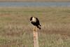 March 13, 2011 (Aransas National Wildlife Refuge / Calhoun County, Texas) - Crested Carcara