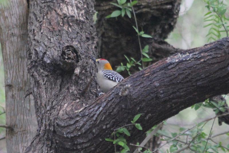 March 14, 2011 (Hugh Ramsey Nature Park, Harlingen Arroyo Colorado / Cameron County, Texas) - Golden-fronted Woodpecker