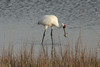 March 13, 2011 (Aransas National Wildlife Refuge / Calhoun County, Texas) - Whooping Crane with a crab dinner